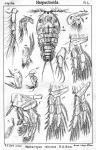 Machairopus minutus from Sars, G.O. 1905