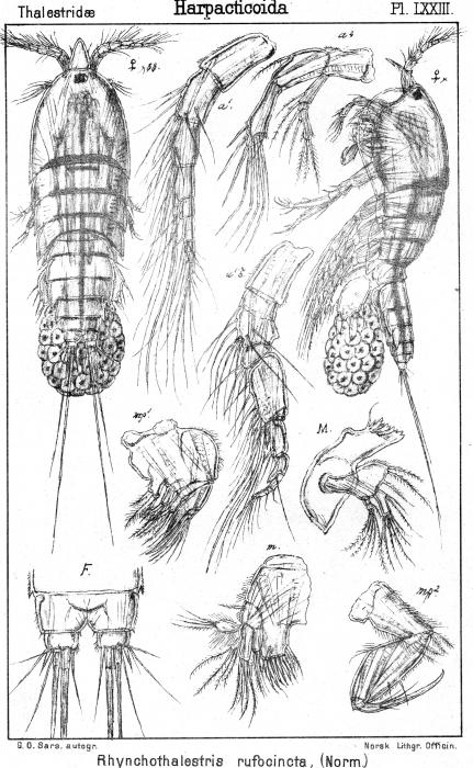Rhynchothalestris rufocincta from Sars, G.O. 1905