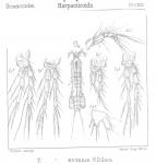 Amphiascus exiguus from Sars, G.O. 1906