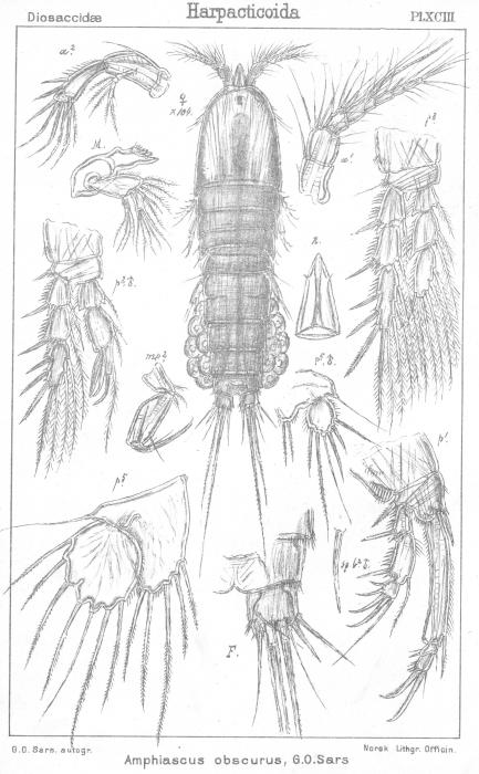 Amphiascus obscurus from Sars, G.O. 1906