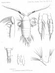 Candacia nigrocincta from Thompson 1888