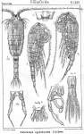 Heterocope appendiculata from Sars, G.O. 1902