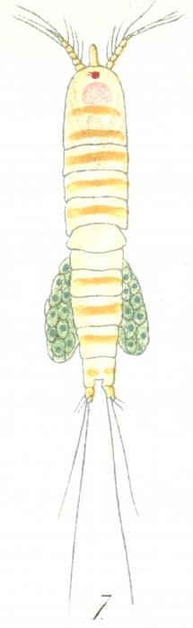 Amphiascus similis from Brian, A 1921