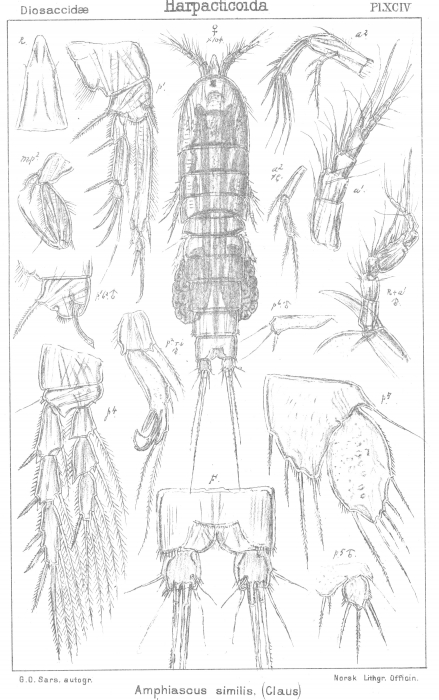 Amphiascus similis from Sars, G.O. 1906