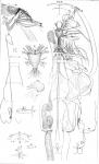 Caligus americanus from Pickering & Dana 1838