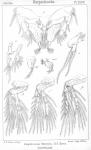Aspidiscus littoralis from Sars, G.O. 1904