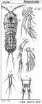 Idya gracilis from Sars, G.O. 1905