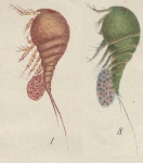 Westwoodia assimilis from Brian, A 1921