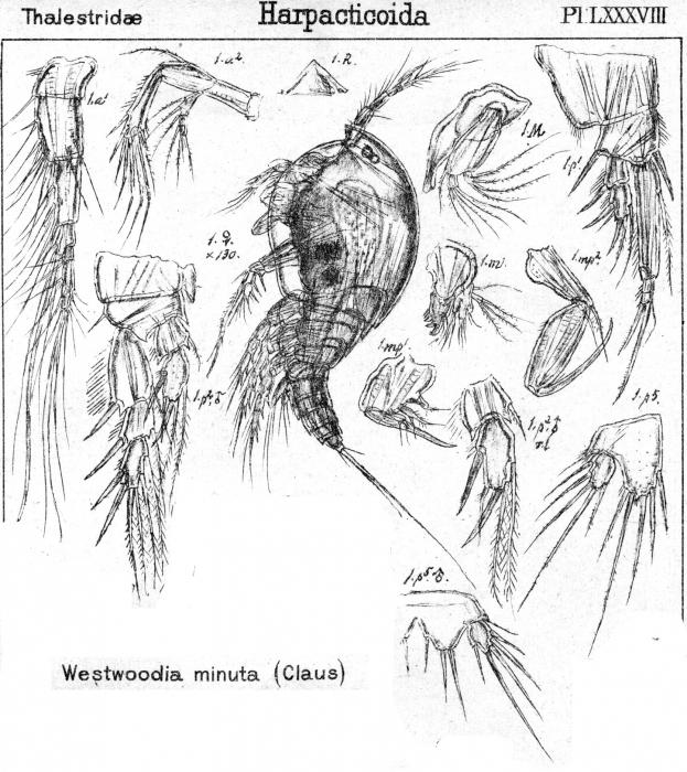 Westwoodia minuta from Sars, G.O. 1906