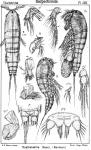 Parathalestris clausii from Sars, G.O. 1905
