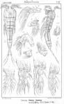 Cervinia synarthra from Sars, G.O. 1904