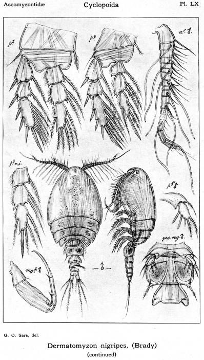 Dermatomyzon nigripes from Sars, G.O. 1914