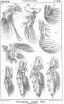 Pleuromamma robusta from Sars, G.O. 1902