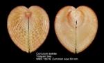 Corculum aselae
