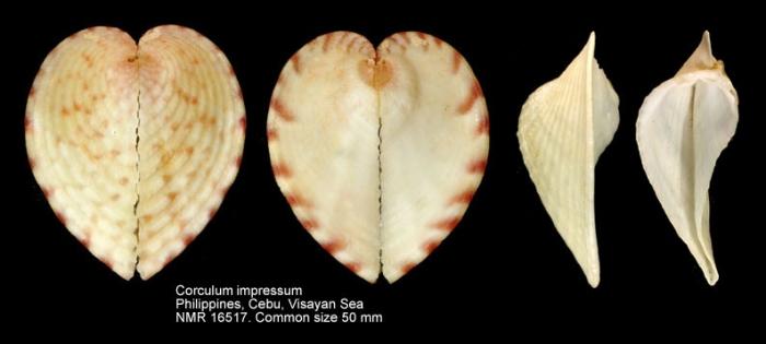 Corculum impressum