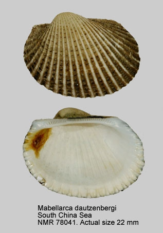 Mabellarca dautzenbergi