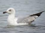 Immature Caspian Gull (Larus cachinnans)
