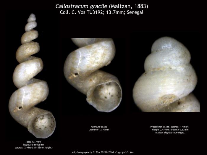 Callostracum gracile (Maltzan, 1883)