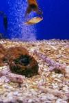 Lesser spotted dogfish - Scyliorhinus canicula