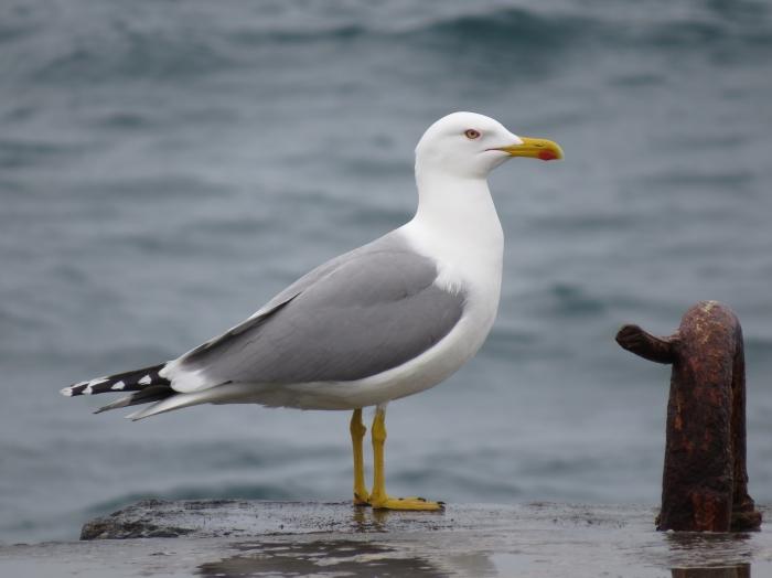 Adult Caspian Gull