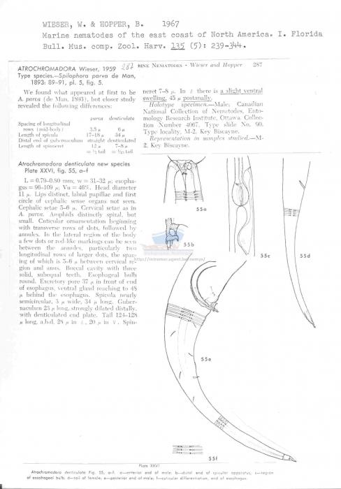 Atrochromadora denticulata