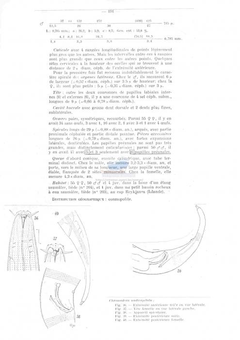 Chromadora nudicapitata