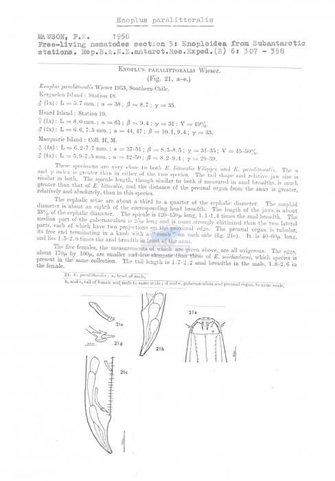 Enoplus paralittoralis