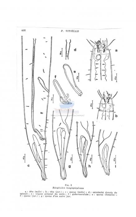 Enoploides longispiculosus
