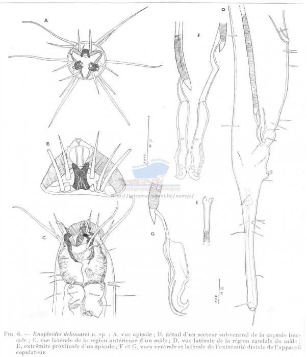 Enoploides delamarei