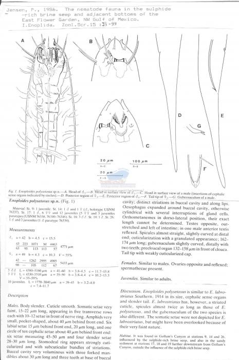 Enoploides polysetosus