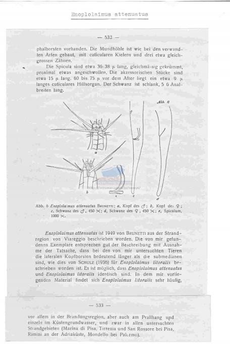 Enoplolaimus attenuatus