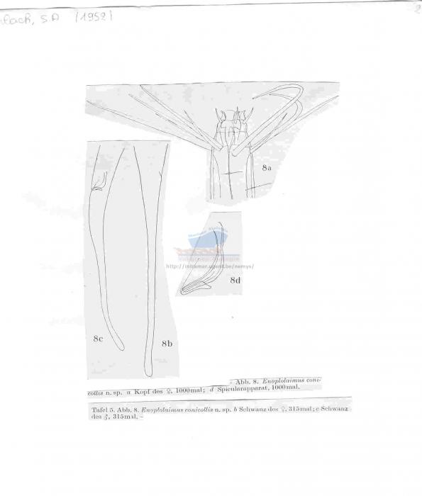 Enoplolaimus conicollis