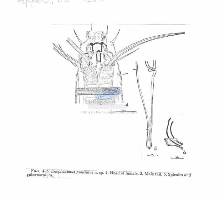 Enoplolaimus punctatus