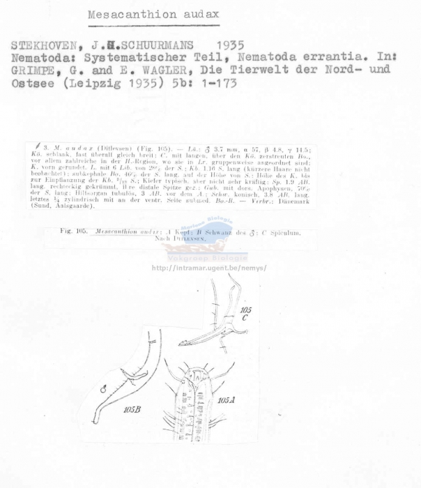 Mesacanthion audax