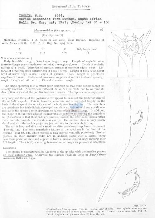 Mesacanthion fricum