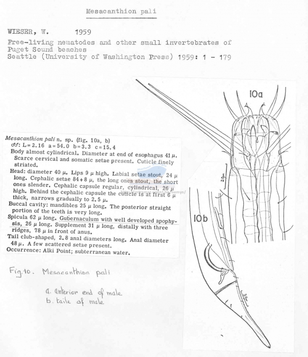 Mesacanthion pali