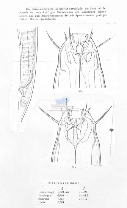 Oxyonchus hamatus