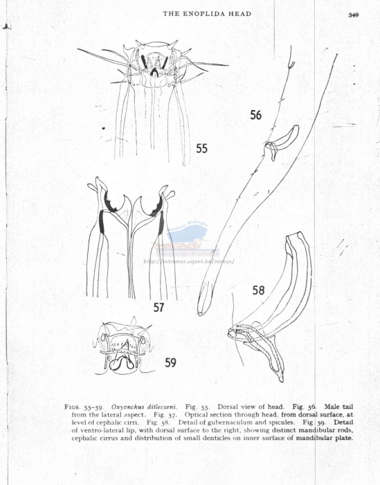 Oxyonchus ditlevseni
