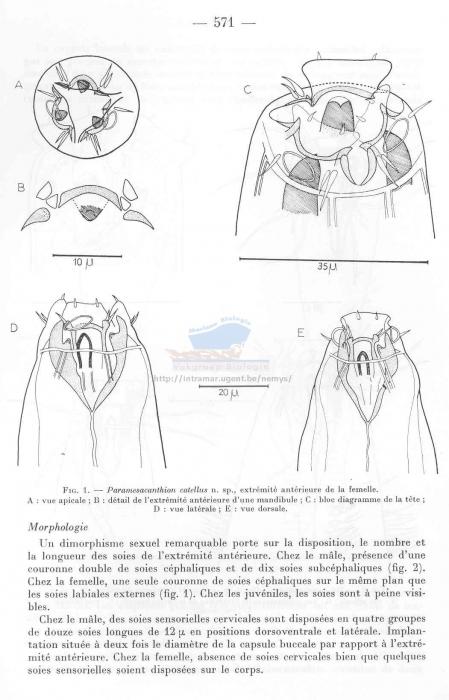 Paramesacanthion catellus