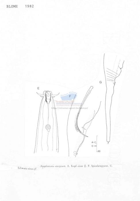 Anoplostoma exceptum