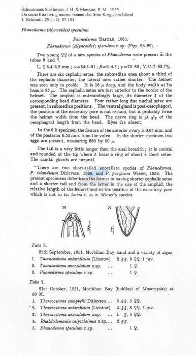 Phanoderma speculum