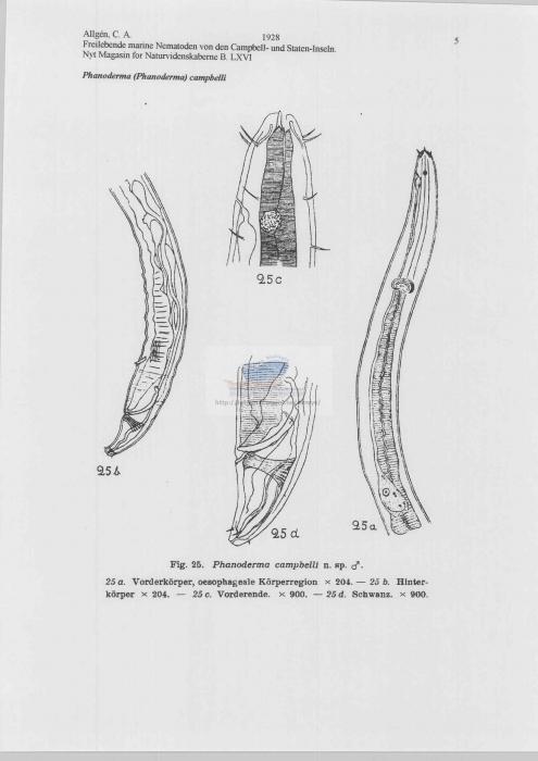 Phanoderma campbelli
