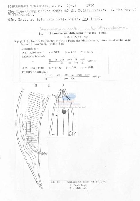 Phanoderma cocksi