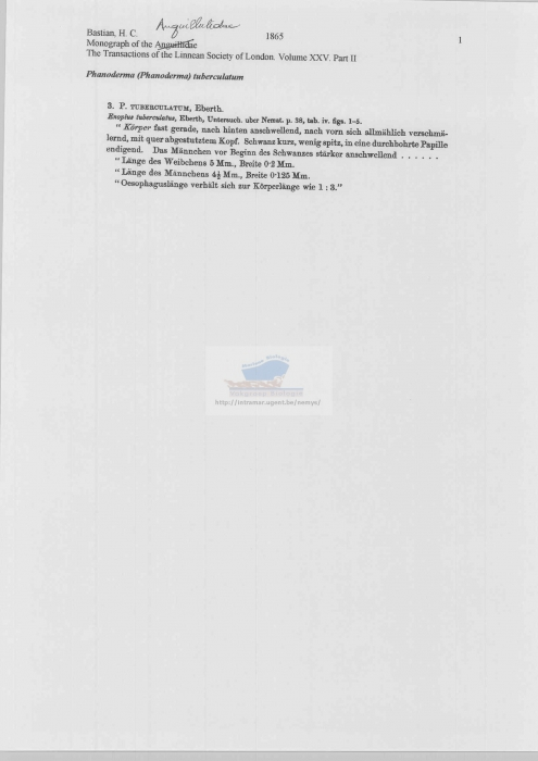 Phanoderma tuberculatum