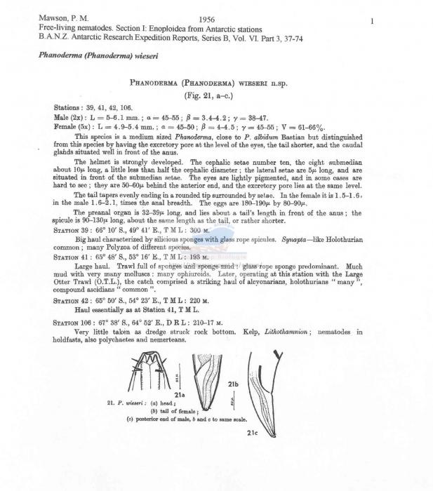 Phanoderma wieseri