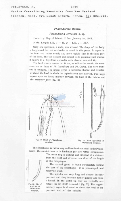 Phanoderma serratum