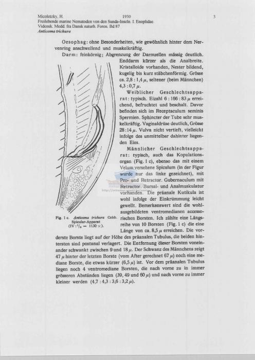 Anticoma trichura
