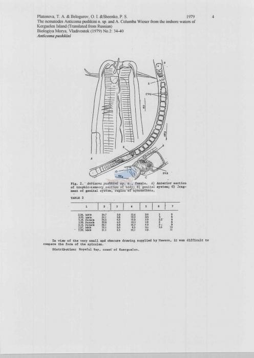 Anticoma pushkini
