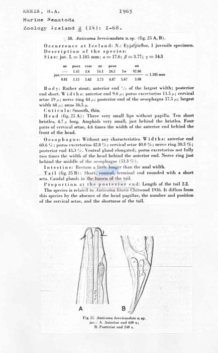 Anticoma brevicaudata