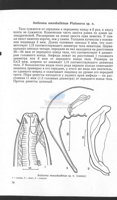 Anticoma menchutkinae